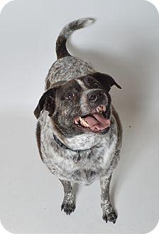 Australian Cattle Dog Mix Dog for adoption in Fruit Heights, Utah - Dallas