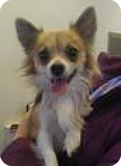 Chihuahua Mix Dog for adoption in Norman, Oklahoma - Dexter
