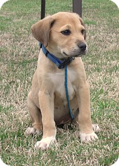 Labrador Retriever/Shepherd (Unknown Type) Mix Puppy for adoption in parissipany, New Jersey - Marley
