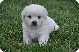 Maltese/Chihuahua Mix Puppy for adoption in Newark, Delaware - Snowball