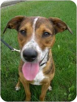 Shepherd (Unknown Type)/Terrier (Unknown Type, Medium) Mix Dog for adoption in Northville, Michigan - Phoenix