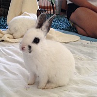 Dwarf Hotot Mix for adoption in Los Angeles, California - Pepper