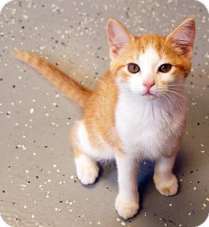 Domestic Shorthair Kitten for adoption in Maynardville, Tennessee - Owl