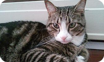Domestic Shorthair Cat for adoption in Colmar, Pennsylvania - Riley