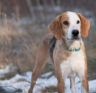 Hound (Unknown Type)/Coonhound (Unknown Type) Mix Dog for adoption in Lexington, Massachusetts - Malcolm