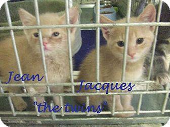 Domestic Mediumhair Cat for adoption in Alturas, California - Jacques