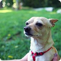 Adopt A Pet :: Gazpacho - Whitehall, PA