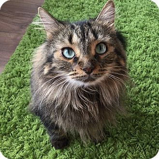 Domestic Longhair Cat for adoption in Toronto, Ontario - Buddy