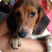 Adopt A Pet :: Beagle Boy - Groveland, FL