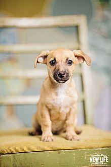 Dachshund/Cairn Terrier Mix Puppy for adoption in Portland, Oregon - Lexus