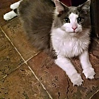 Adopt A Pet :: Louie - Rocky Hill, CT