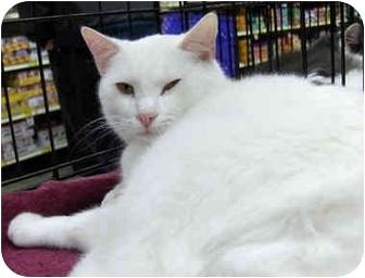 Domestic Shorthair Cat for adoption in Overland Park, Kansas - Sugar