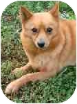 Finnish Spitz Mix Dog for adoption in Homer, New York - Margo