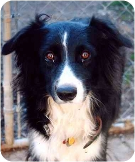 Australian Shepherd/Border Collie Mix Dog for adoption in Baldwin, New York - JASPER