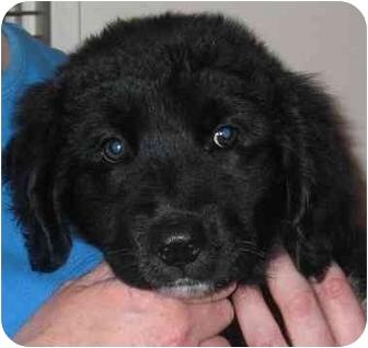 Golden Retriever Mix Puppy for adoption in Evergreen, Colorado - Sapphire