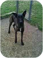 "Dutch Shepherd Dog for adoption in Jamestown, California - ""Luna"" In Central Texas"