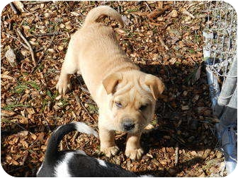 Shar Pei Mix Puppy for adoption in Lawrenceburg, Tennessee - Cassy