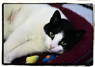 Domestic Shorthair Cat for adoption in Elmwood Park, New Jersey - Gypsy