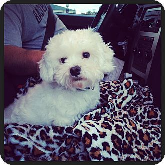 Maltese/Poodle (Miniature) Mix Dog for adoption in Allentown, Pennsylvania - Bailey