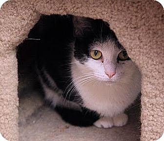Domestic Shorthair Cat for adoption in Tempe, Arizona - Abbie
