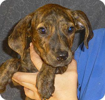 Beagle/Australian Shepherd Mix Puppy for adoption in Oviedo, Florida - Sally