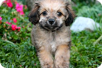 Poodle (Miniature)/Spaniel (Unknown Type) Mix Puppy for adoption in Los Angeles, California - Cece