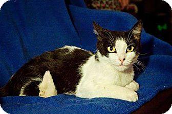 Domestic Shorthair Kitten for adoption in East Hanover, New Jersey - Daisy
