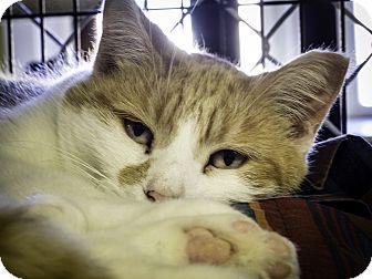 Domestic Shorthair Cat for adoption in Freeport, New York - Tangerine