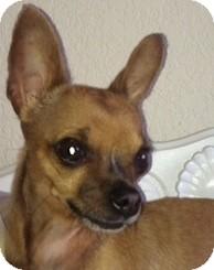 Chihuahua Mix Dog for adoption in Poulsob, Washington - Tnkerbelle
