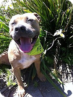American Pit Bull Terrier Dog for adoption in Berkeley, California - Zoe