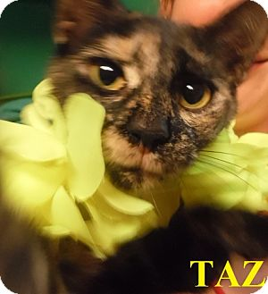 Domestic Shorthair Cat for adoption in Franklin, North Carolina - TAZ