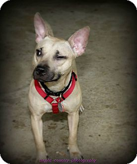 Basenji/Terrier (Unknown Type, Small) Mix Dog for adoption in DOVER, Ohio - Lily