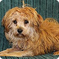 Adopt A Pet :: Karamel - Broomfield, CO