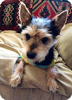 Terrier (Unknown Type, Small)/Schnauzer (Miniature) Mix Dog for adoption in Los Angeles, California - Pepper(oni)