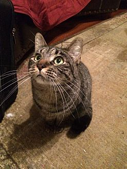 Domestic Shorthair Cat for adoption in Frisco, Texas - Glory