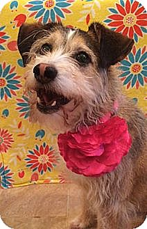 Border Terrier/Cairn Terrier Mix Dog for adoption in Hagerstown, Maryland - BELLA-NEEDS HOME!