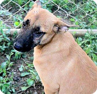 Labrador Retriever/Shepherd (Unknown Type) Mix Puppy for adoption in Naugatuck, Connecticut - Armand