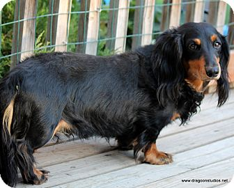 Dachshund Dog for adoption in Spokane, Washington - Maxwell, mellow, $300 fee