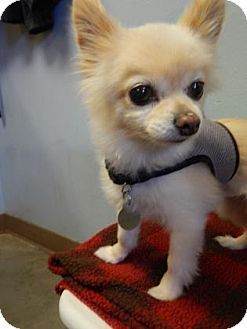 Pomeranian/Chihuahua Mix Dog for adoption in The Dalles, Oregon - Honey