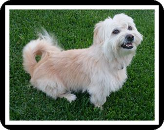 Wheaten Terrier/Lhasa Apso Mix Dog for adoption in Winchester, California - BRADLEY
