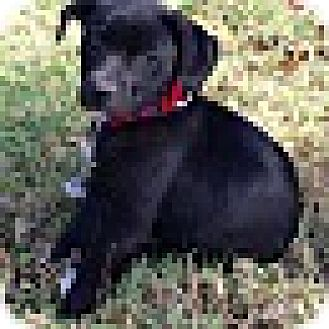 Pug/Beagle Mix Puppy for adoption in KITTERY, Maine - KATE
