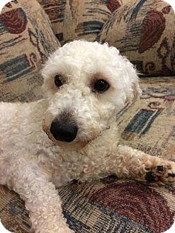 Poodle (Miniature)/Dachshund Mix Dog for adoption in Sidney, Ohio - Matt