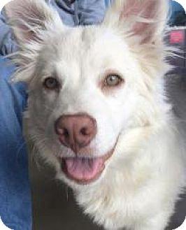 American Eskimo Dog Mix Dog for adoption in New Smyrna Beach, Florida - Kenai