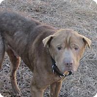 Adopt A Pet :: Amos - Gainesville, FL