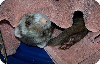 Ferret for adoption in Libertyville, Illinois - Boris