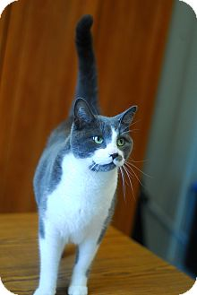 Domestic Shorthair Cat for adoption in Everett, Ontario - Mittins