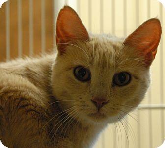 Domestic Shorthair Cat for adoption in Newland, North Carolina - Sugar Cookie