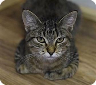 Domestic Shorthair Kitten for adoption in Lincoln, California - Hannah