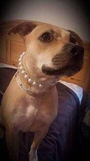 Black Mouth Cur/Rhodesian Ridgeback Mix Dog for adoption in loxahatchee, Florida - sadie