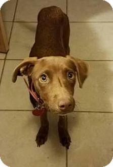Whippet Mix Dog for adoption in Yukon, Oklahoma - Faye